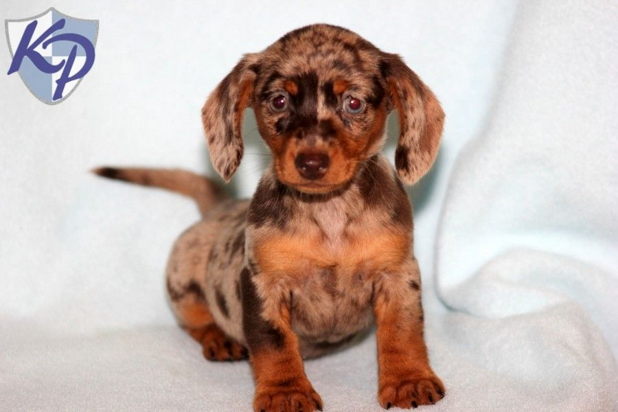 Emma Dachshund Miniature Puppies for Sale in PA
