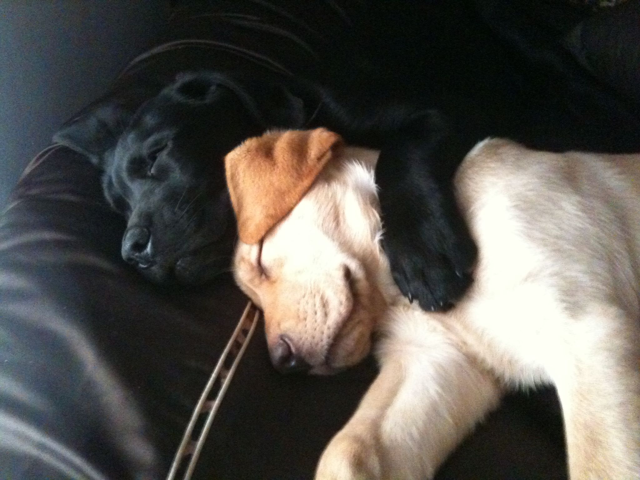 lab love | lab love | pinterest | labs, labradors and dog