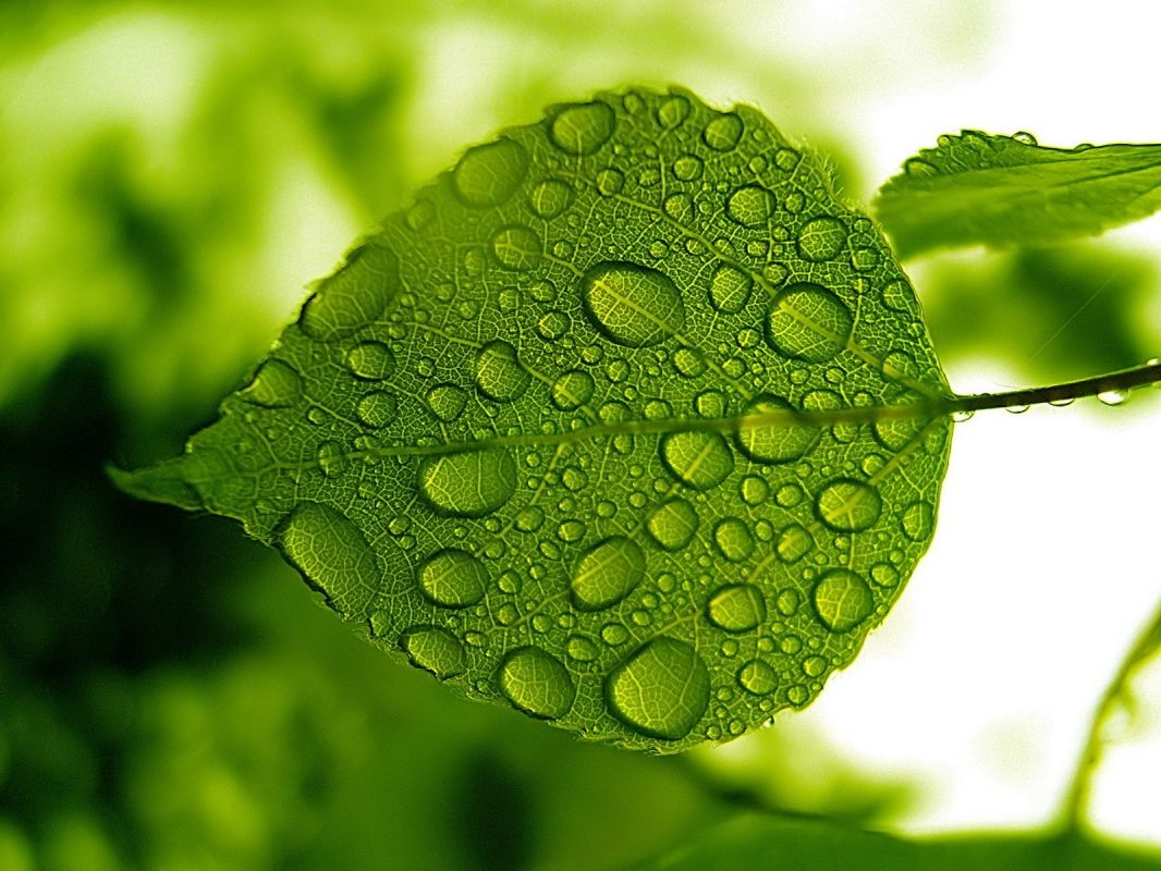 Green Leaf With Water Drops Leaves Water Drops Water Drop On Leaf