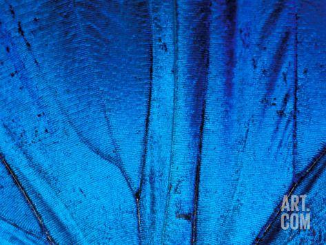 Detail of Blue Morpho Wing, Barro Colorado Island, Panama Photographic Print by Christian Ziegler at Art.com