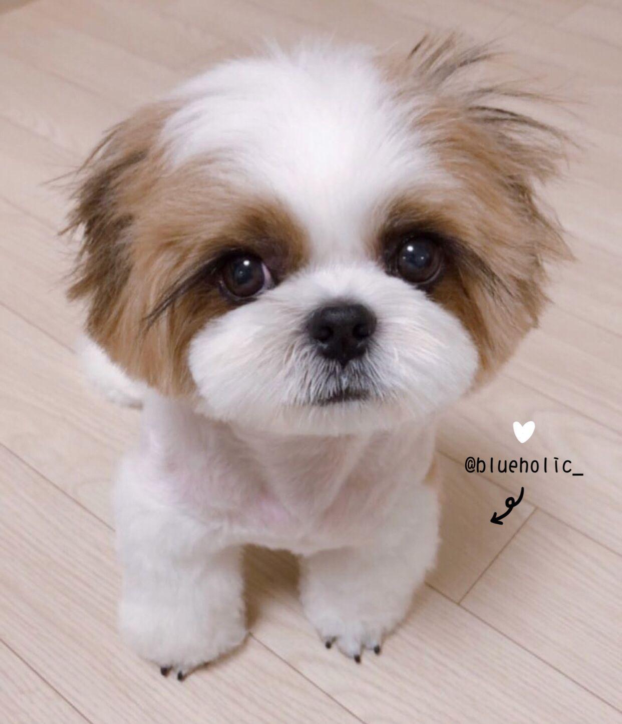 Ig Blueholic Shih Tzu Cute Dogs Super Cute Animals