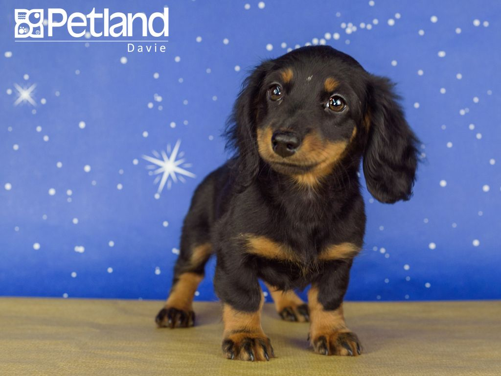 Petland Florida Has Dachshund Puppies For Sale Interested In