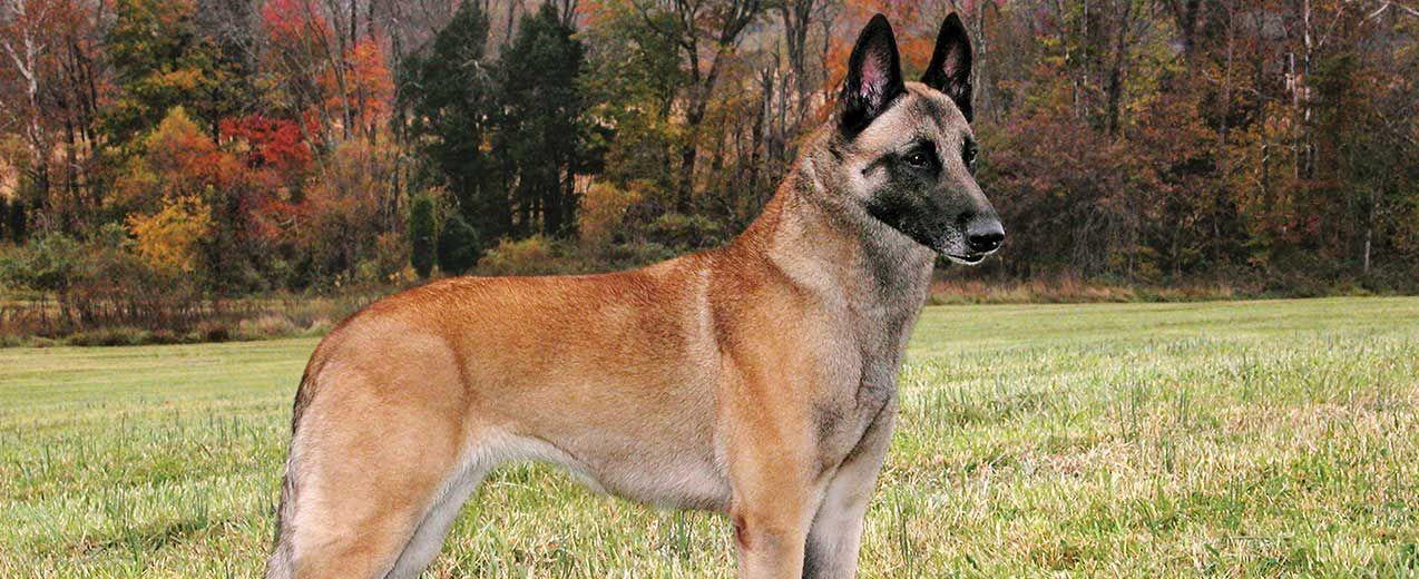 Belgian Shepherd Malinois Best Guard Dogs Malinois Dog