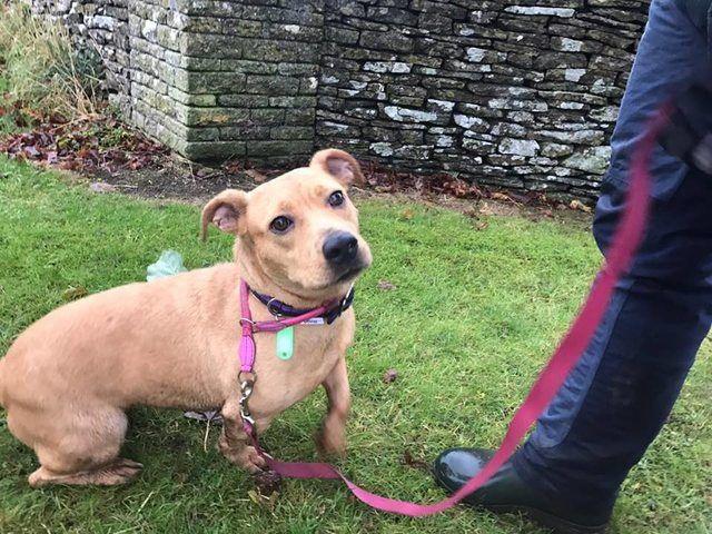 Julia 4 Year Old Female Staffordshire Bull Terrier Cross Dachshund