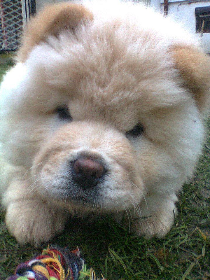 1 Photos Of Chow Chow Club International Cute Baby Animals