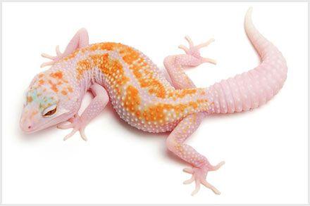 Leopard Gecko Morphs - White & Yellow Tremper Albino Enigma