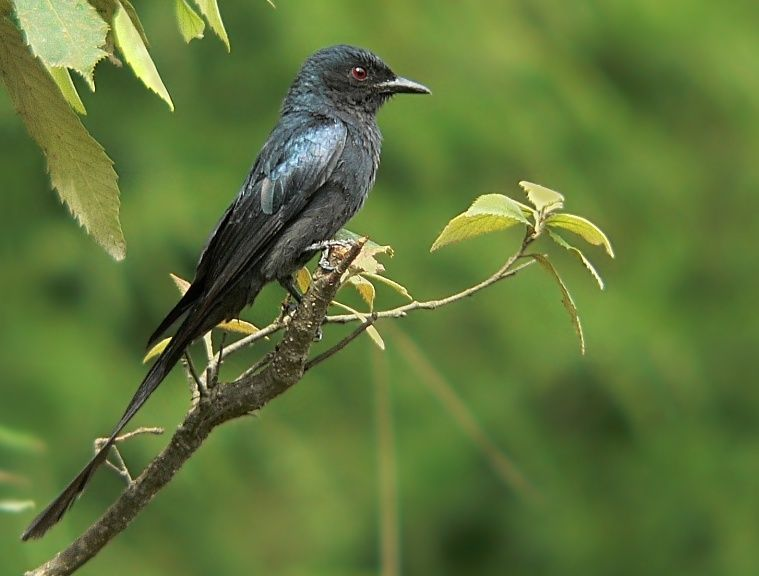 The Indian Shag...