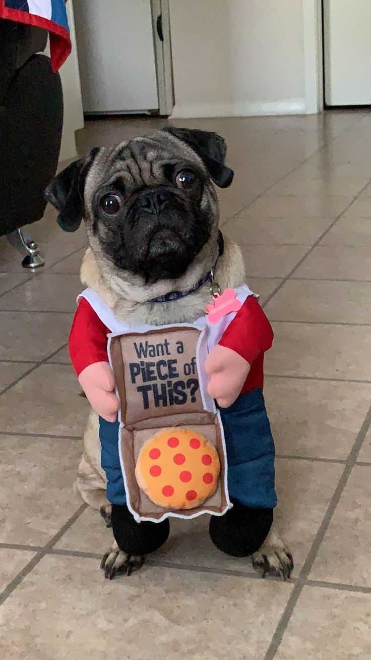 Pin By Betsy On Cute Pugs Cute Pugs Pugs In Costume Pugs Funny