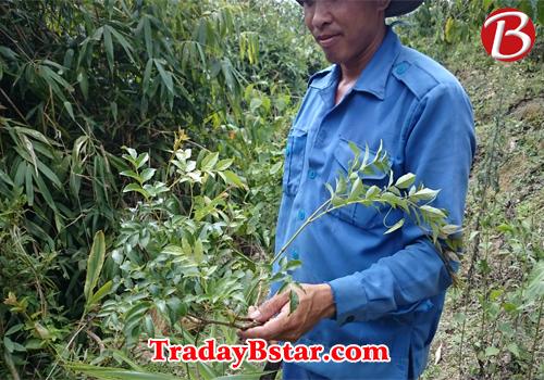 Trà dây rừng là trà gì? trà dây rừng khác gì cây trà dây leo thông thường bạn có nên chọn cây trà dây rừng để trị đau dạ dày để hiệu quả trong thời gian ngắn? http://tradaybstar.com/tra-day-che-day/tra-day-rung.html