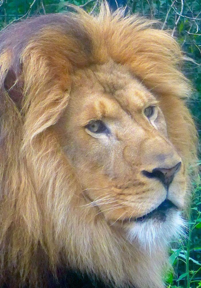 Adult.com den lion
