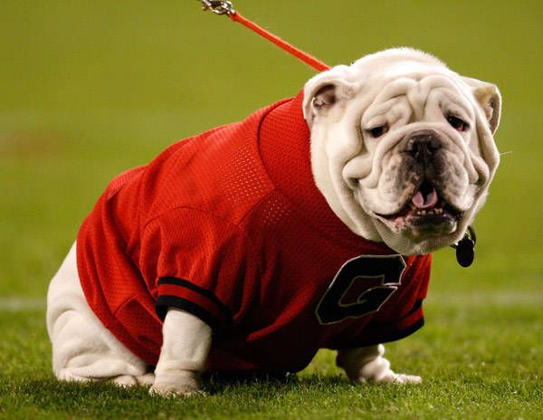 UGA VII, the Georgia bulldog. He passed away on November 19, 2009.
