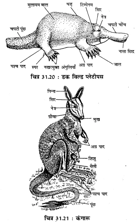 RBSE Solutions for Class 11 Biology Chapter 31 कशेरुकी