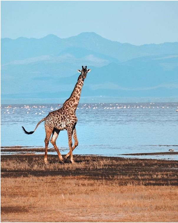 what is the tallest land mammal