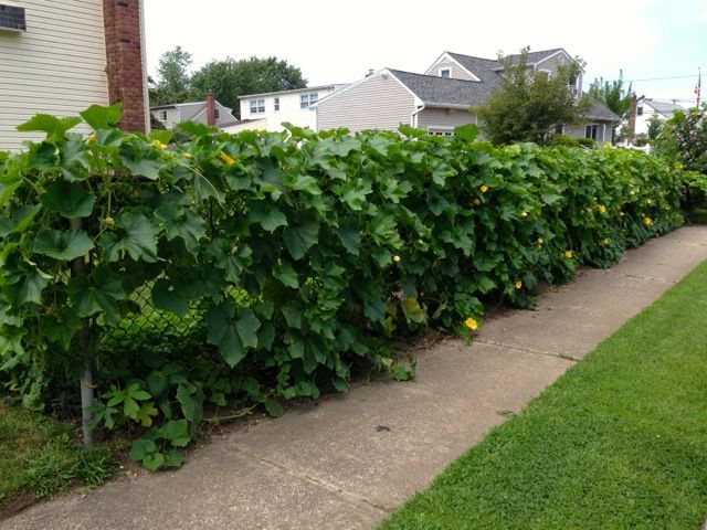 Best Use Of A Chain Link Fence Vining Veggies Chinese