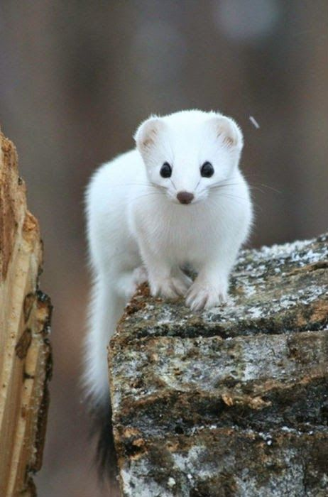 White mongoose - the miracle of nature
