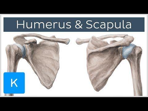 Humerus And Scapula Human Anatomy Kenhub Youtube Anatomy