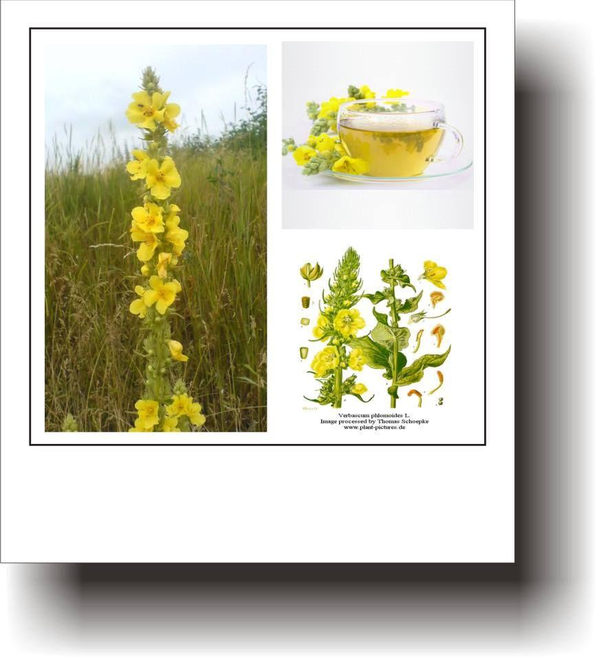 plantele de ierburi din varicoză