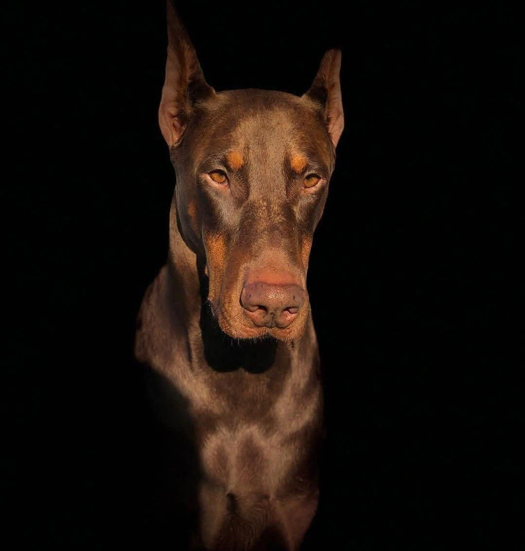 The Loyal Doberman Pinscher Pups Size Dobermanlovers