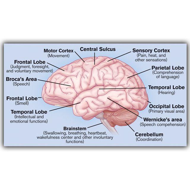 Human science human brain diagram lobben medische kennis zijde human science human brain diagram lobben medische kennis zijde poster afdrukken custom behang versierd ziekenhuis ccuart Images