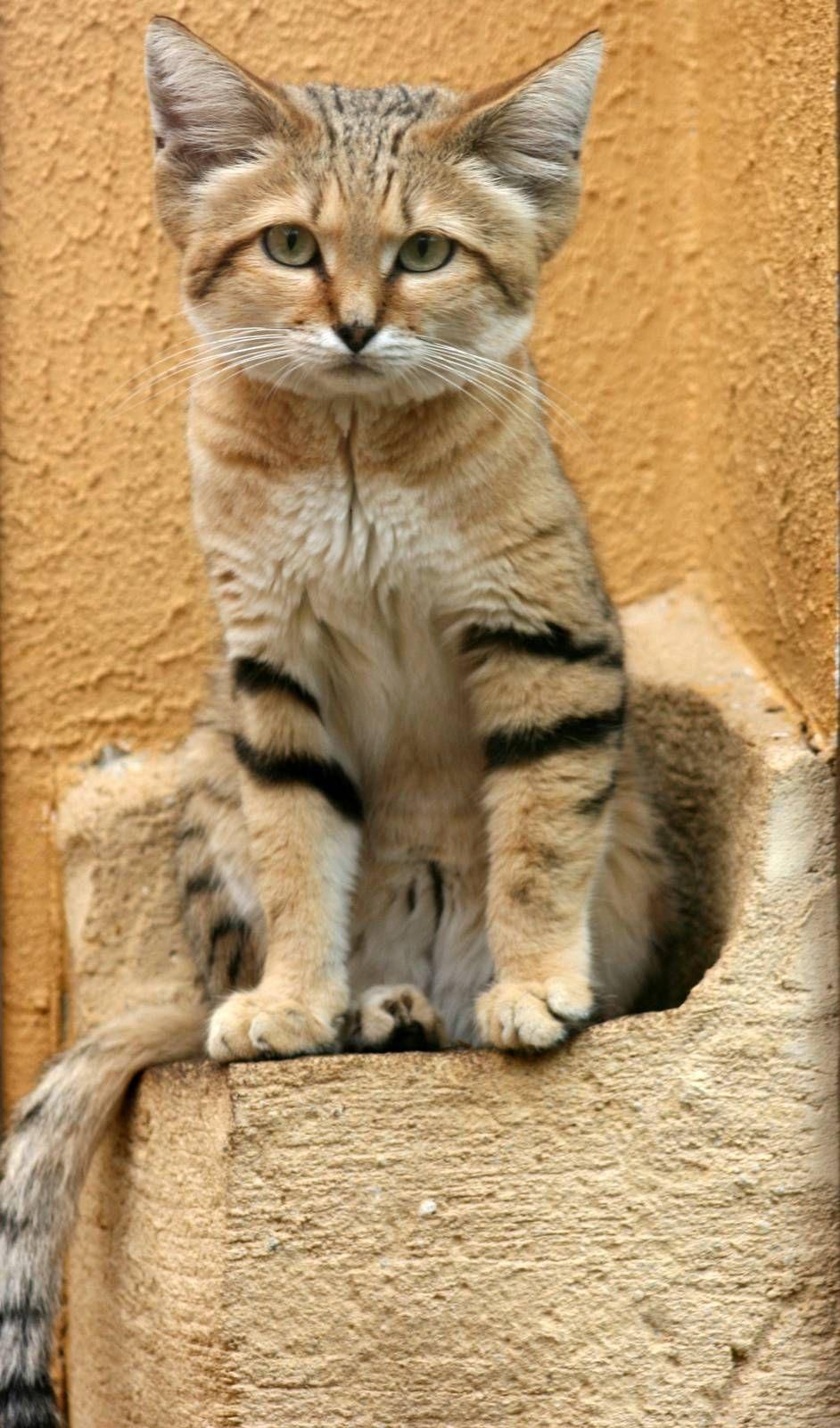 sand cat Sand cat, Cats