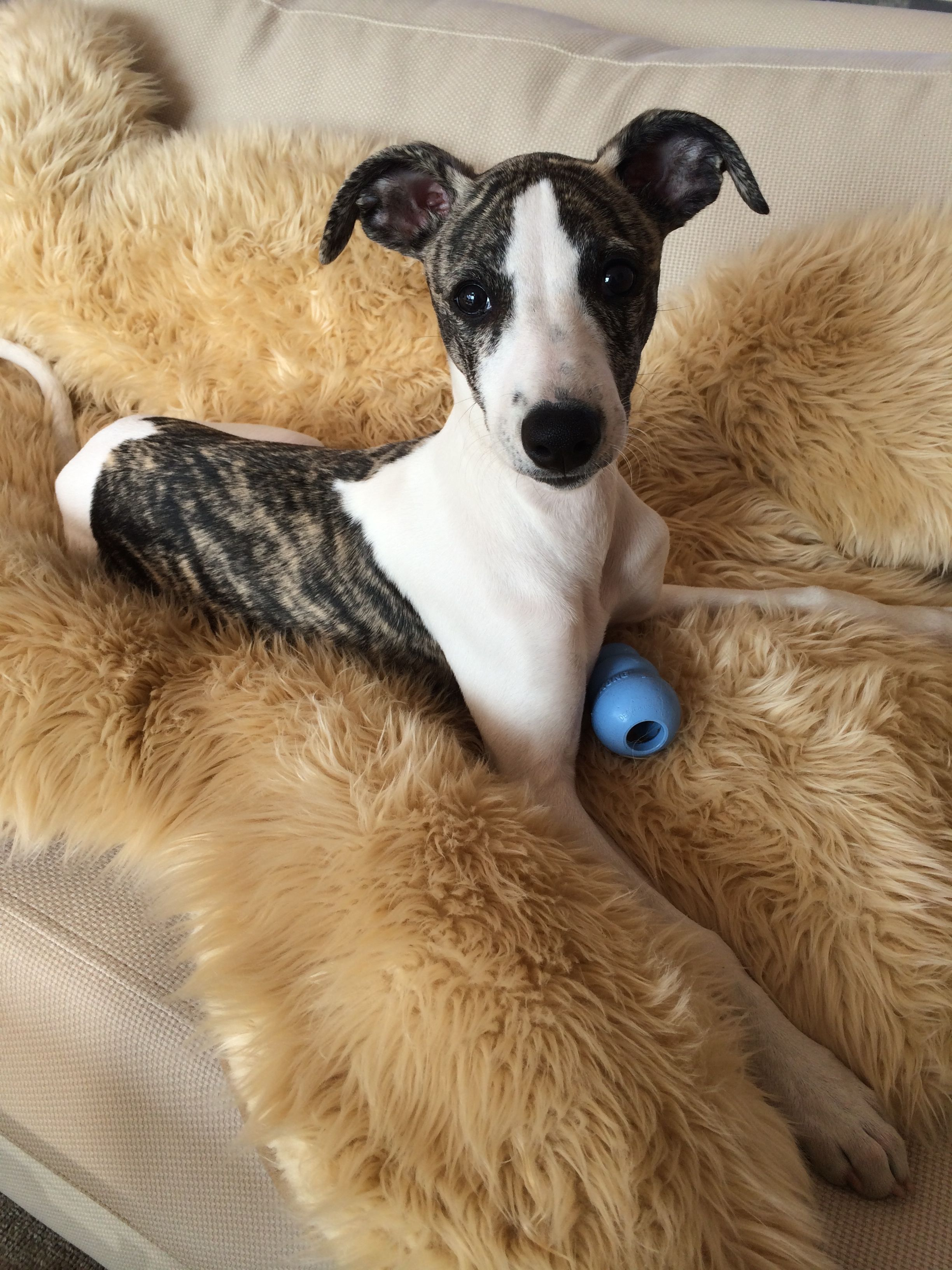 What Is More Interesting Than A Kong Filled With Peanutbutter Perhaps Someone Said Cookies O Whippet Puppies Whippet Dog Greyhound Puppy