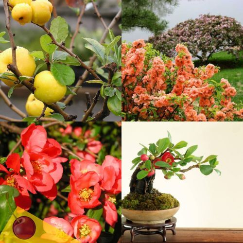 Chaenomeles Japanese Flowering Quince 20 Seeds