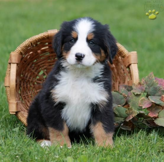 Cloe Bernese Mountain Dog Puppy For Sale In Paradise Pa Bernese Mountain Dog Puppy Bernese Mountain Dog Mountain Dogs