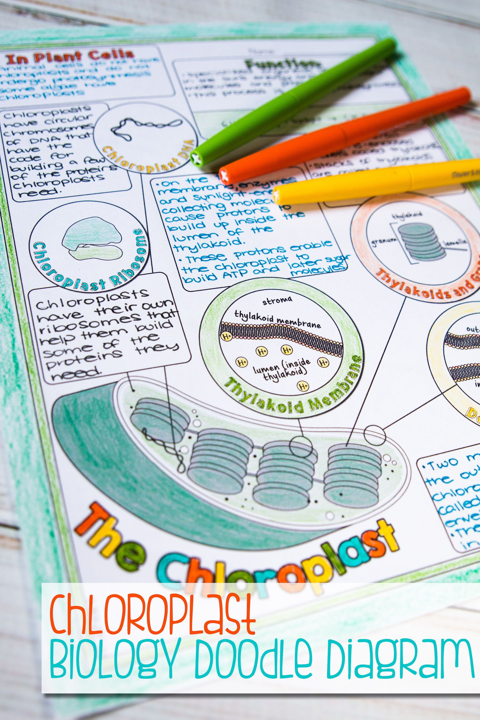 Nucleus Chloroplast And Mitochondrion Doodle Diagrams In