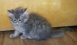 Adopt Tuffy On Cat Adoption Grey Cats Cats