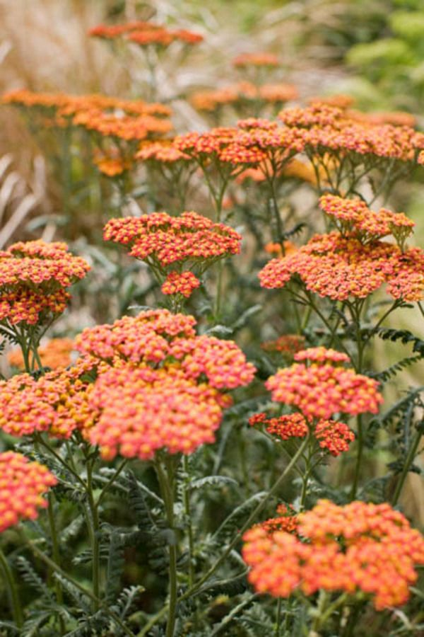 Presenting a mozaic of warm colors with its flowers of various ages, Achillea 'Walther Funcke' is a strong, sturdy and gorgeous Yarrow with masses of long-lasting clusters of brick-red flowers fading to terracotta then creamy yellow