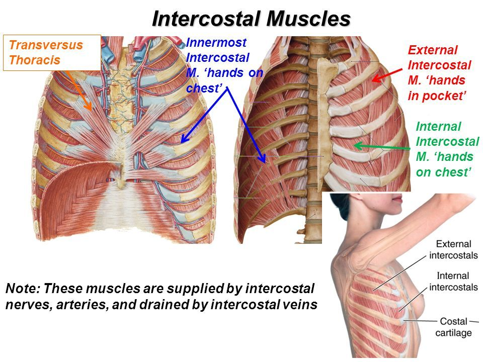 Innermost Intercostal Muscle Diagram Enthusiast Wiring Diagrams