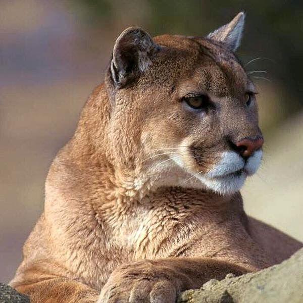 Pumas suchen Kätzchen