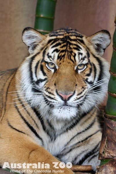 Charlie Bengal Tiger Bengal Siberian Tigers Pinterest