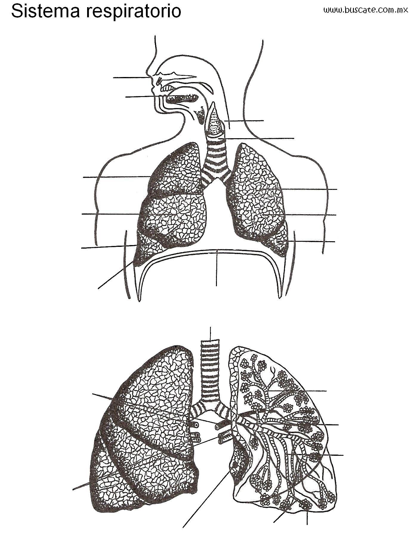 Esquema Del Sistema Respiratorio Sin Los Nombres De Sus Partes Para