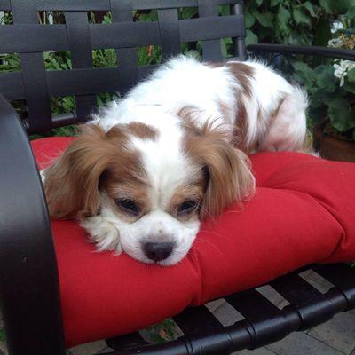 Elroy In Castro Valley Ca Cavalier King Charles Dog Cavalier Rescue King Charles Dog