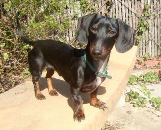 Adopt Mason On Dachshund Rescue Dachshund Adoptable Dachshund Dog