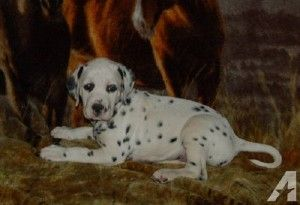 Dalmatian Puppies For Sale In Okc Cute Baby Animals Pinterest