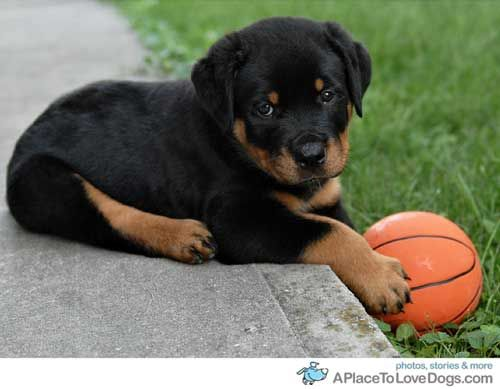 Knox And A Ball Rottweiler Puppies Puppies Rottweiler
