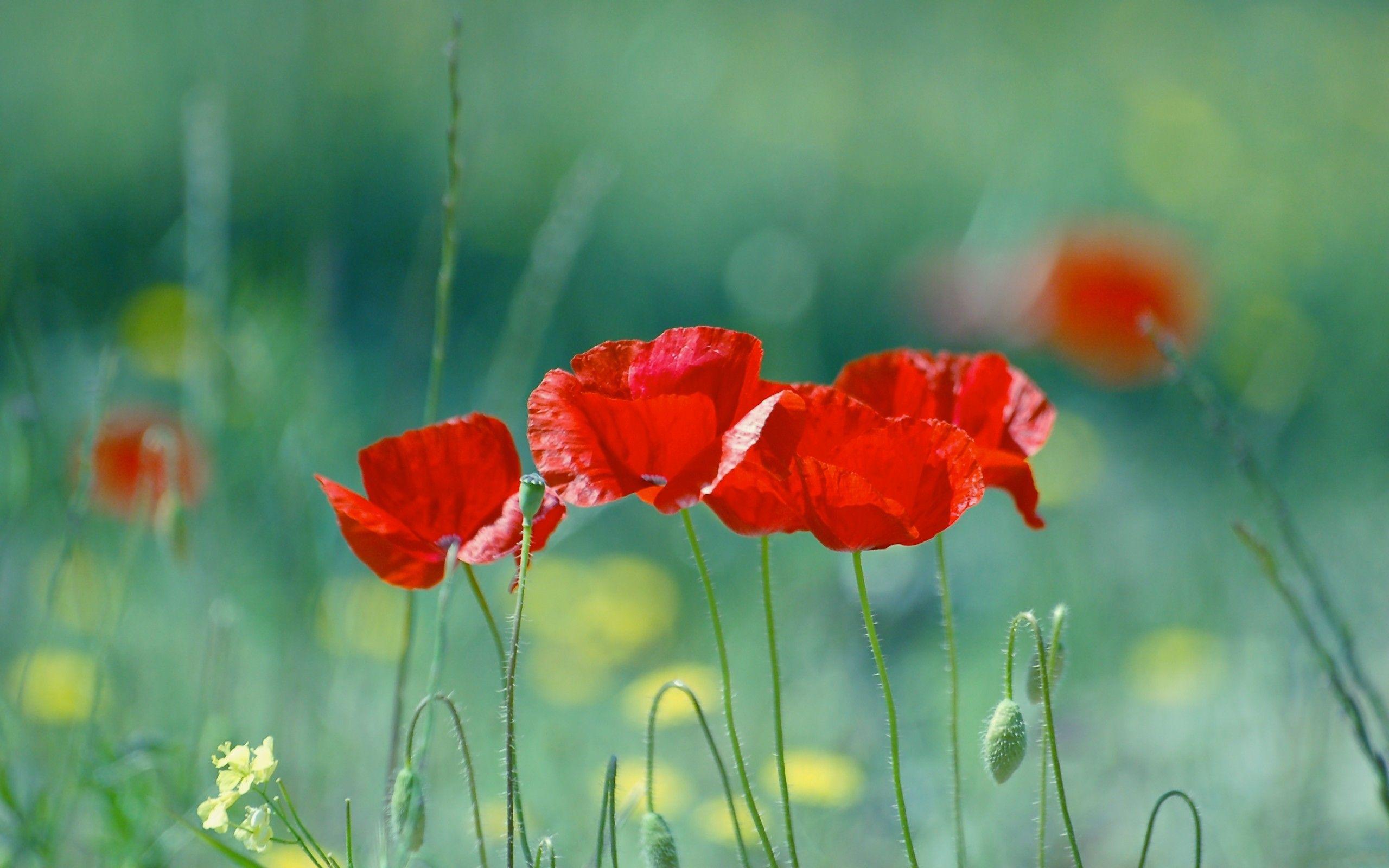 Inspiring Ideas Image By Amalia Cooper Poppy Wallpaper Poppy Flower