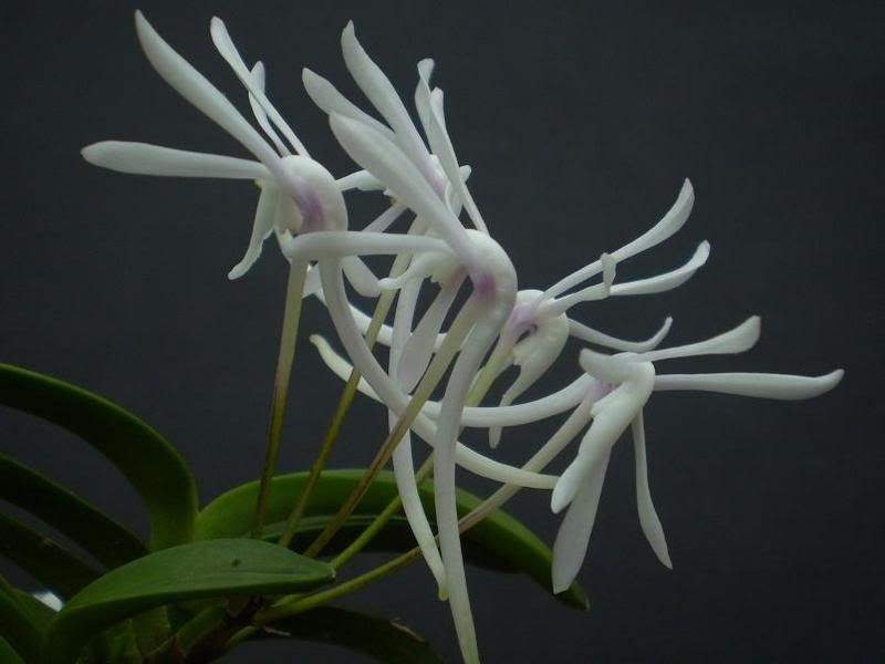 Orchidee van nov-orchidee