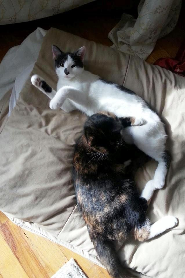 Ausia S Family Sent Updated Photos Of Her And Her Sister Cleo Ausia Was An Orphan Kitten Last Spring Rescue Animal Rescue Kittens Rescue