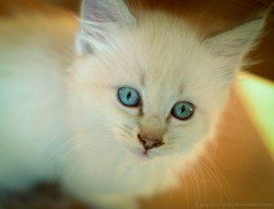 Adopt Siamese And Flame Point Ragdoll Mixes On Petfinder Cute Cats Cats And Kittens Ragdoll
