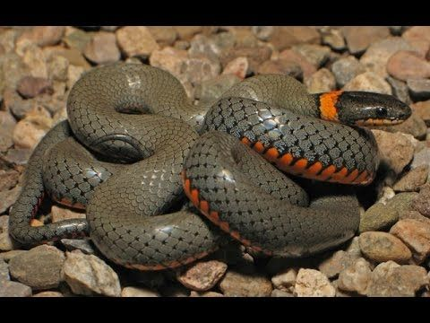 Cacadores Solitarios E Procurados Cacadores Serpente Cobras