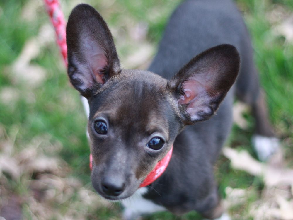 Chiweenie Dog For Adoption In Cookeville Tn Adn 821963