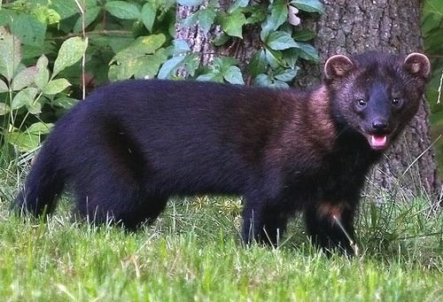 Fisher Cat (With images) Fisher animal, Fisher cat