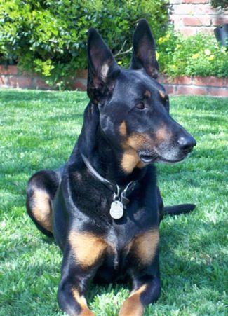 Doberman Pinscher X German Shepherd This Guy Kinda Looks Like Our Dog Jackson Best Dog Ever They Should Doberman Shepherd Shepherd Dog Breeds Hybrid Dogs