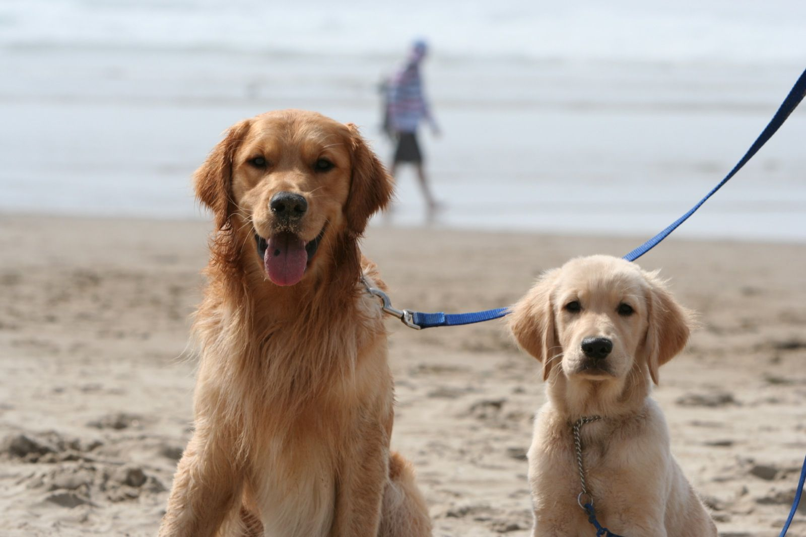 Golden retriever puppy sleepy time. Puppy time, Golden
