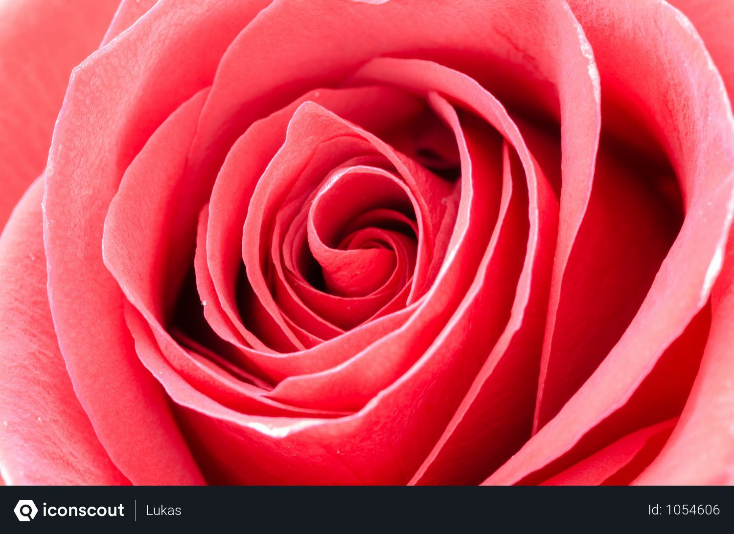 Free Close Up Of Red Rose Photo Download In Png Jpg Format Rose Photos Red Roses Rose Photo Download