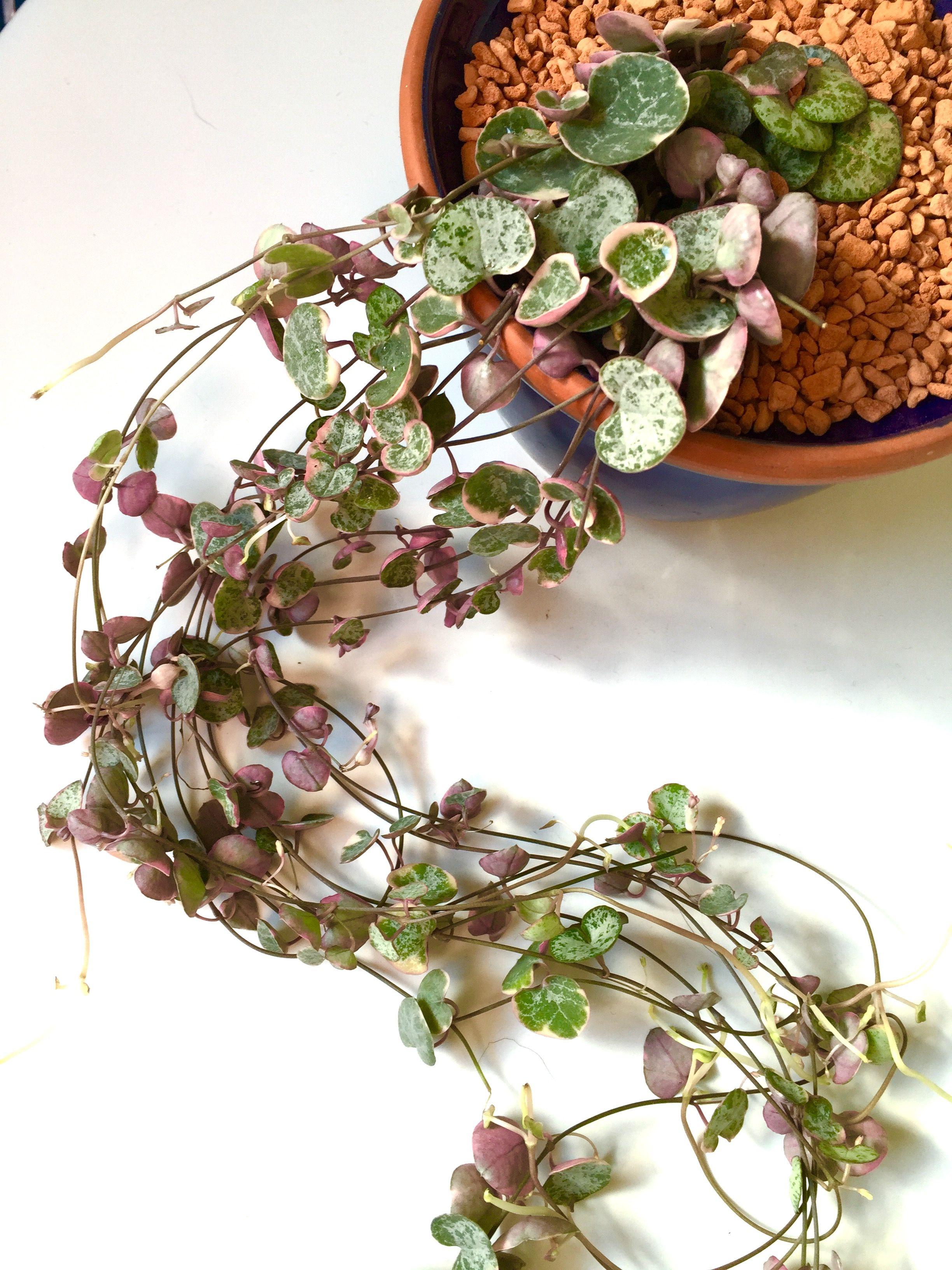 ceropegia woodii variegata , Leuchterblume