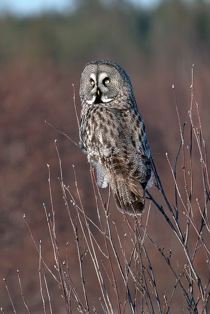 Great Grey Owl via:The Owl that calls upon the Night ...